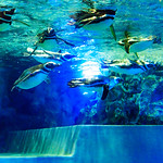 Magellanic Penguins (Spheniscus magellanicus) of Sumida Aquarium in Tokyo Sky Tree Town : マゼランペンギン(東京スカイツリータウン・すみだ水族館) thumbnail