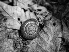 On the forest floor (repete7) Tags: macro invertebrate snail bw blackandwhite niksilverefexpro canon6dmarkii canon100mmf28lmacro landsnail virginia