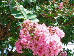 Crape Myrtle Blossoms. (dccradio) Tags: lumberton nc northcarolina robesoncounty outdoor outdoors outside nature natural summer summertime august sunday afternoon sony cybershot dscw830 crepemyrtle crapemyrtle flower floral flowering flowers plant tree trees greenery leaf leaves foliage summerfoliage bloom blooming blossom blossoms blossoming pretty scenic beauty godshandiwork godscreation