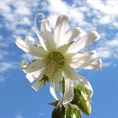 2018-08-06 Michauxia tchihatchewii - BG Teplice (beranekp) Tags: czech teplice teplitz botanik botany botanic herbarium herbary herbář garden garten flora flower plant michauxia