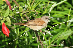Passer griseus (Grey-headed Sparrow) - Isunga, Uganda (Nick Dean1) Tags: animalia chordata aves passerine passeriformes kibalenationalpark kibale uganda isunga passergriseus greyheadedsparrow sparrow