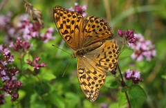 Silver Washed Fritillary 020818 (1) (Richard Collier - Wildlife and Travel Photography) Tags: wildlife naturalhistory nature insects british butterflies silverwashedfritillary macro closeup