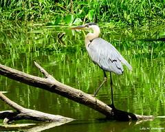 Great Blue Heron (Lois McNaught) Tags: greatblueheron bird avian waterfowl nature wildlife hamilton ontario canada