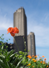 157/365 - Barbican-tastic (Spannarama) Tags: 365 june poppy flowers barbican highwalk towers towerblock flats concrete brutalist architecture lookingup blueskies london uk cimko28mm