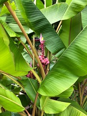 Banana Flower (Neal3K) Tags: