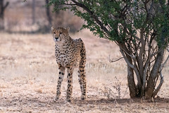 _DSC4739 (Ivan Lau) Tags: namibia cheetahconservationfund