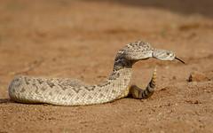 Western Diamondback Rattlesnake 00009 (blackhawk32) Tags: elephanthead thepond tucson westerndiamondbackrattlesnake rattlesnake snake