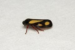 Hemiptera, Cercopidae sp. (Froghopper) - Isunga, Uganda (Nick Dean1) Tags: animalia arthropoda arthropod hexapoda hexapod insect insecta hemiptera isunga uganda