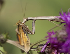 Mantis eating butterfly (brian.magnier) Tags: new jersey nature wildlife animals outdoors