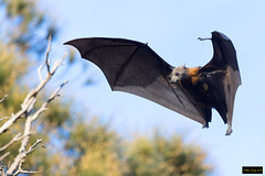 Grey-headed Flying Fox (Pteropus poliocephalus) (Dave 2x) Tags: greyheadedflyingfox greyheaded fox pteropuspoliocephalus pteropus poliocephalus fruit bat inflight centennialpark sydney nsw australia