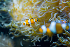 _DSC6411 (Aurmorea) Tags: france fr bretagne finistere oceanopolis poisson fish clownfish clown