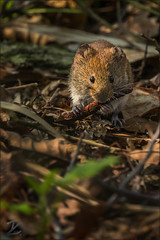 Feldmaus (Common vole) (tzim76) Tags: feldmaus common vole microtus arvalis wald waldboden fressen wildlife nature outdoor canon