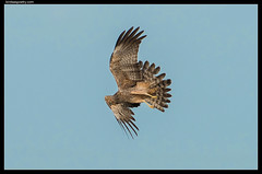 Spotted Harrier: Tail Flare (birdsaspoetry) Tags: circusassimilis spottedharrier