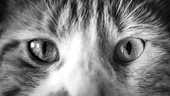 Cat's Eyes (Nicholas Erwin) Tags: cat animal pet kitty feline kitten meow luke orangetabby orangecat contrast blackandwhite monochrome bw mono fujifilmxt2 fujixt2 fujifilm fuji xt2 xf60mmf24rmacro xf60 6024 fujixf6024 fav10 fav25