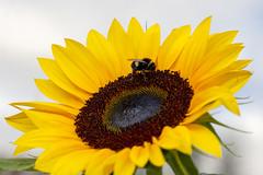 Photo of Sunflower visitor
