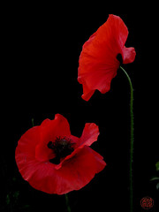 poetic face to face (light-matter) Tags: poppy red black flower coquelicot papaverum
