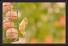 """You Lookin' at ME...?!?!"" (NikonShutterBug1) Tags: nikond7100 tamron18400mm birds ornithology wildlife nature spe smartphotoeditor birdfeedingstation bokeh birdsfeeding tit"