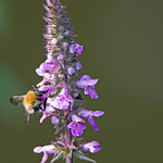 Dead-nettle (Lamium sp.) - Culm River, Cullompton, Devon - 13 July 2018 thumbnail