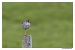Balade écossaise : toujours sur son poteau ! (C. OTTIE et J-Y KERMORVANT) Tags: nature animaux oiseaux limicoles chevalier chevaliergambette mull ecosse