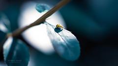 Little Spotlight (Thomas TRENZ) Tags: käfer ladybug marienkäfer nikon tamron thomastrenz bug iamnikon insect insekt light maco macrophotography makro makrofotografie nikonat rampenlicht schatten shaddow spotlight star tamronlens withmytamron