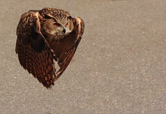 Look ma I'm flying. (alex.vangroningen) Tags: bird owl eye wings feathers beak nikon d2h 70300mm vr orangeeyes