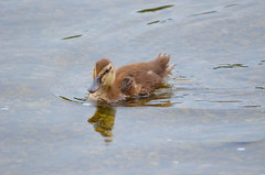 All By Myself (Neal D) Tags: bc abbotsford milllake duck bird duckling mallard anasplatyrhynchos