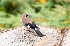 Dodd & Mardale-180725-003psml (Stocktonlad) Tags: birds dodd jay lakedistrict places uk wildlife