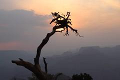 Canyon tree at sunset (Sven Bonorden) Tags: sonnenuntergang sunset misty diesig nebel baum tree arizona grandcanyon desertview fog