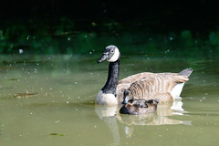 A strange Couple / Ein seltsames Paar (Manfred_H.) Tags: nature tiere animals vögel birds wasservögel goose duck teich tümpel lake