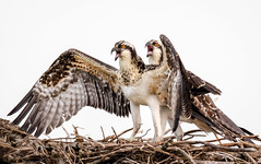 We Want Food !!! (tresed47) Tags: 2018 201807jul 20180730forsythebirds birds canon7dmkii content ebforsythenwr folder july newjersey osprey peterscamera petersphotos places season summer takenby us ngc