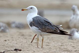 Lesser Black-backed Gull, Second Summer 1/8