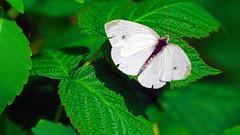 Cabbage White (Pieris rapae), Miller Creek - Duluth MN USA, 08/15/15 (TonyM1956) Tags: elements macrounlimited sonyalphadslr tonymitchell cabbagewhite pierisrapae millercreek duluth sonyphotographing