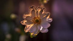 Anemone hupehensis (Of Light & Lenses) Tags: eveninglight sunset bokeh blossom blüte garden anemone autumnanemone windröschen olympus mzuiko1225mmpro zuikoprime omdm1mkii sonnenuntergang hahnenfussgewächs
