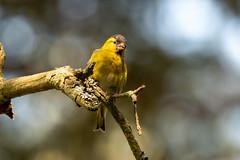 Siskin (CJH Natural) Tags: eurasiansiskin erlenzeisig spinusspinus bird bokeh