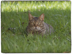 LINDA GATITA (BLAMANTI) Tags: gatos gato felinos cat linda hhermosa olympus olympusomd blamanti