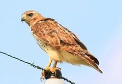 red-tailed hawk near Ludwig Prairie Preserve IA 653A9542 (lreis_naturalist) Tags: redtailed hawk ludwig prairie preserve winneshiek county iowa larry reis