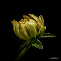 Bud (Magda Banach) Tags: canon canon80d sigma150mmf28apomacrodghsm blackbackground bud colors dahlia flora flower macro nature plants yellow