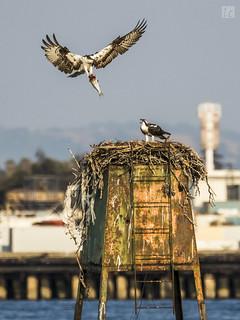 Osprey - Dinner Time