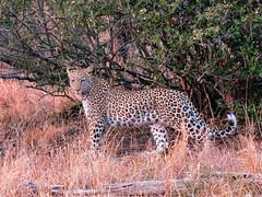 African leopard (andrewking37) Tags: africanleopard pantherapardus krugernationalpark