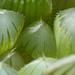 Haworthia Black Obtusa new leaves