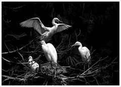 The Fish Was THIS Big (karith) Tags: egrets wings nest waterbirds white storytelling karith bodylanguage bw blackandwhite