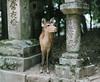 A Glimpse of Nara 一眼奈良 (tsubasa8336) Tags: pentax67 film filmphotography filmcamera fujifilm nara deer japan mediumformat 底片 奈良 日本 鹿 春日大社 銀鹽 寫真 底片相機 中片幅 中判 写真 フィルム 銀塩