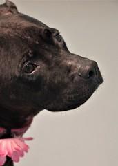 Bella... (catherine4077) Tags: dog bella spca winchester pitbullmix