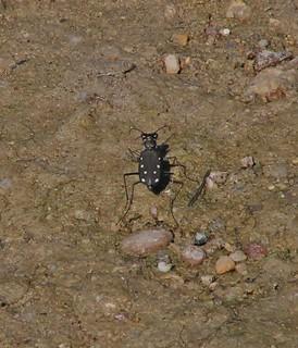 Cicindelidia ocellata ocellata, Ocellated Tiger Beetle