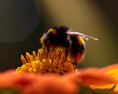 Pollinator (MrBlueSky*) Tags: bee flower petal insect animal nature wildlife garden plant horticulture pollen outdoor colour london royalbotanicgardens kewgardens pentax pentaxart pentaxlife pentaxawards pentaxflickraward pentaxk1mkii aficionados