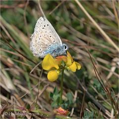 Common Blue (Huddsbirder) Tags: huddsbirder a6500 sony fe70300mm commonblue work butterfly