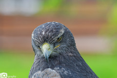 Grey Buzzard Eagle 2 (Mike House Photography) Tags: bird prey falcon eagle hawk talons beak wings flying flight fly yellow green brown white eyes sharp meat eater tail tips conservation wildlife animal photography