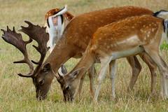 Damwild - Fallow deer (ivlys) Tags: odenwald tier animal damwild fallowdeer damhirsch damadama natur nature frankenhausen ivlys