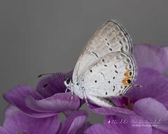 Eastern Tailed-blue Butterfly (Bill McDonald 2016) Tags: butterfly tiny eastern tailedblue micro closeup ontario canada 2018 august kitchener billmcdonald wwwtekfxca