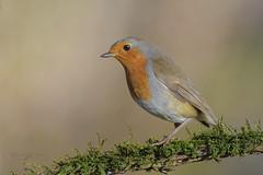 Robin (mauro.santucci) Tags: robin pettirosso passeriforme uccelli uccello bird avifauna natura birdwatching wildlife wild